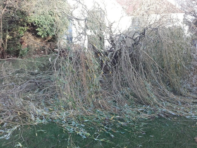 The magnificent willow felled by the wind