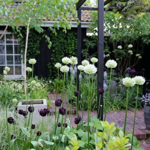 White Alliums' and dark tulips planted to gether