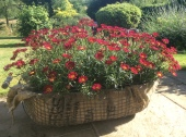 Wire basket lined with sacking and filled with red bedding plants decorated the court yard and entrance